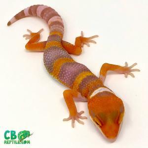tangelo leopard geckos