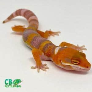 tangelo leopard gecko for sale