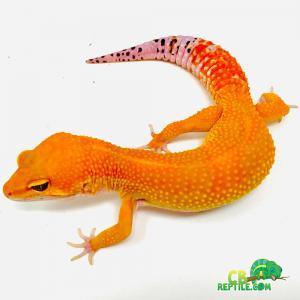 tangerine leopard gecko
