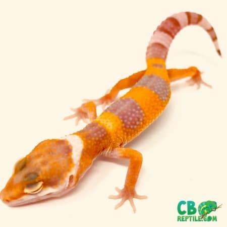 Tremper Albino Super Giant leopard gecko