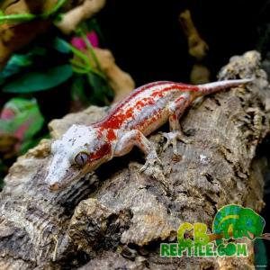 2 shades of red gargoyle gecko