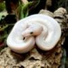 blue eye leucistic ball python