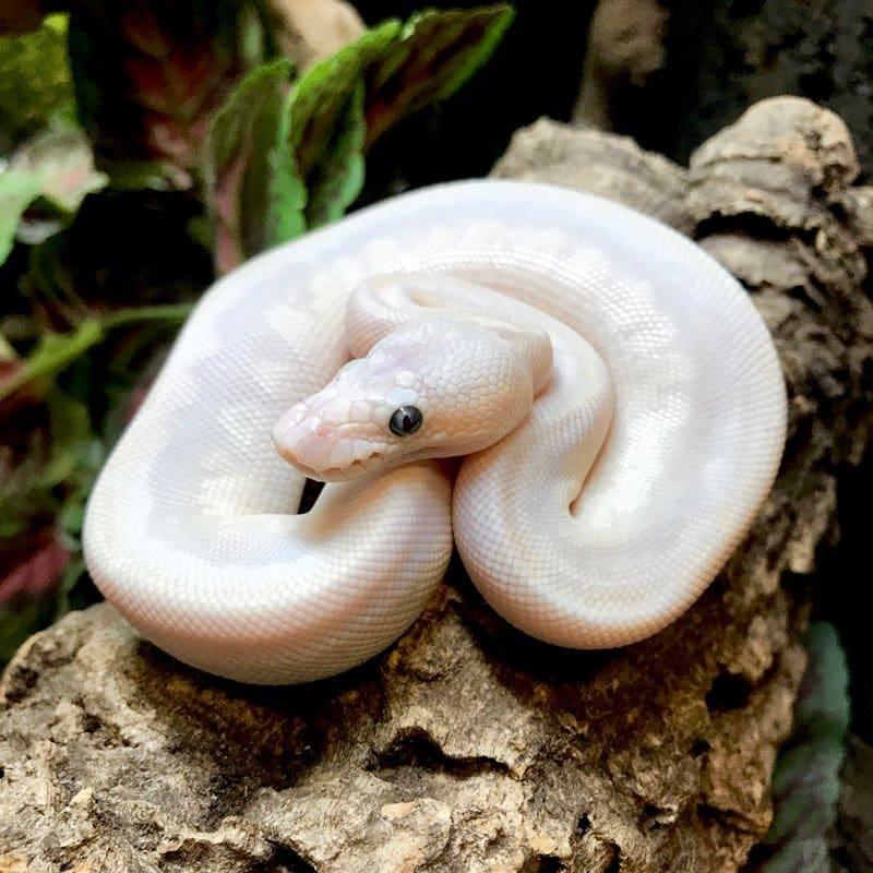 blue eyed leucistic ball python for sale BLU-1