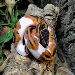 piebald ball python