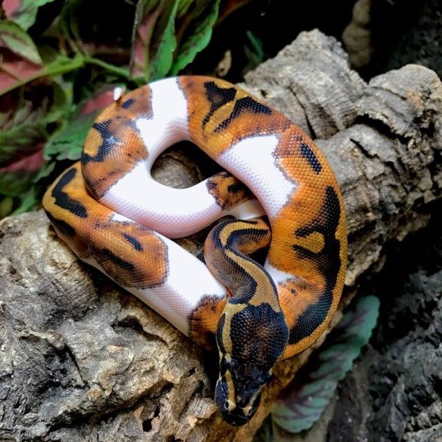 piebald python for sale