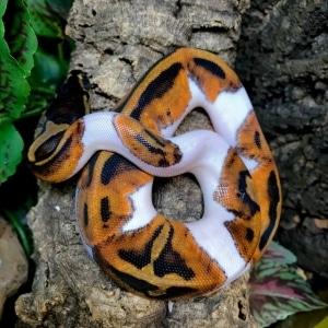 piebald python