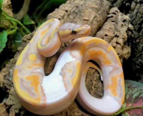 banana pied ball python