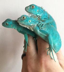 blue iguana breeders