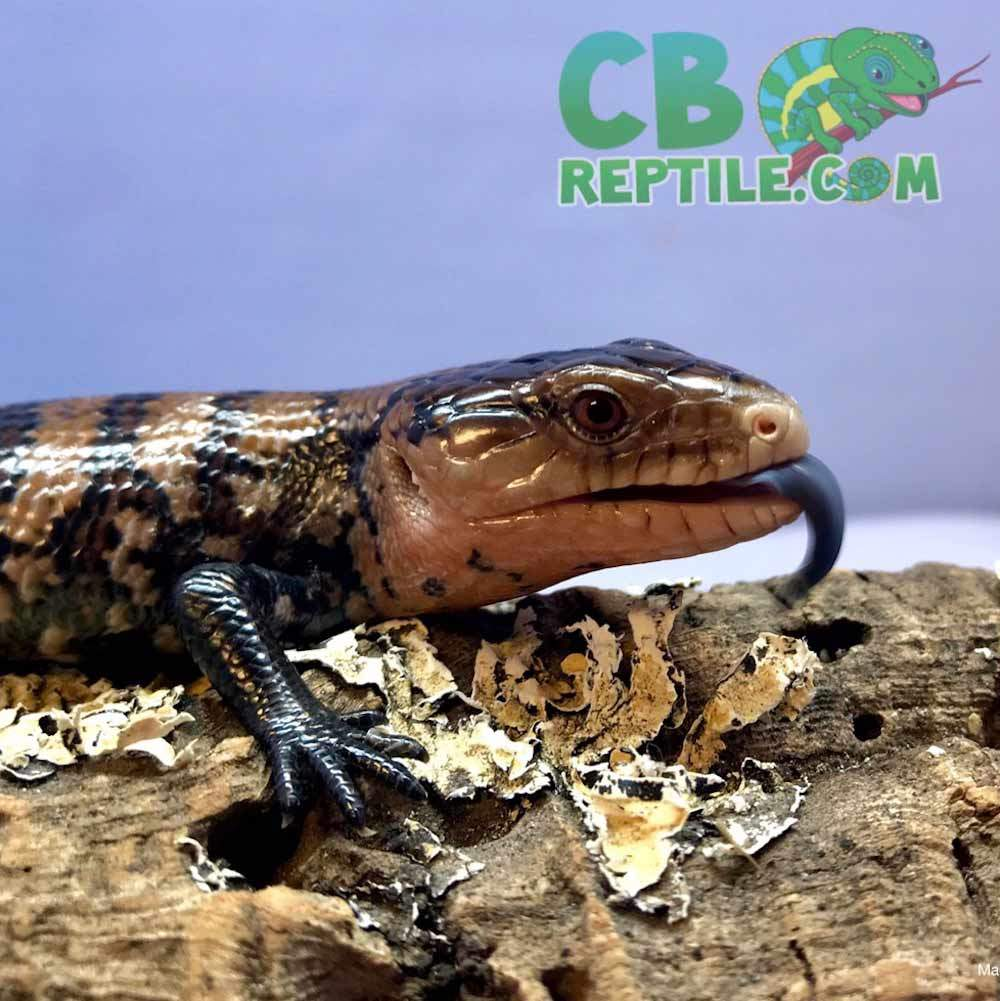 blue tongue skink for sale
