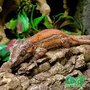 gargoyle gecko breeding
