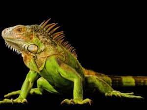 green iguana breeder