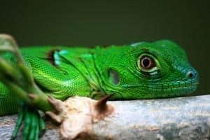 green iguana for sale