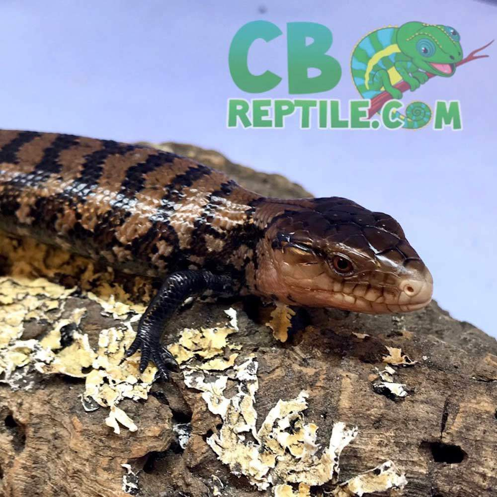 halmahera blue tongue skink
