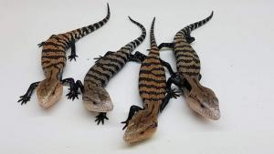 halmahera blue tongue skink for sale