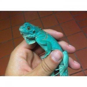 iguana breeder
