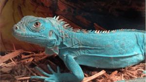 iguana breeders