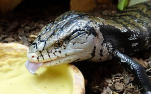 Indonesian blue tongue skinks for sale