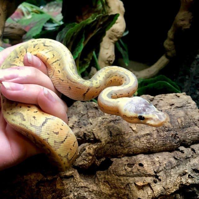killer blast ball python for sale KBM-1