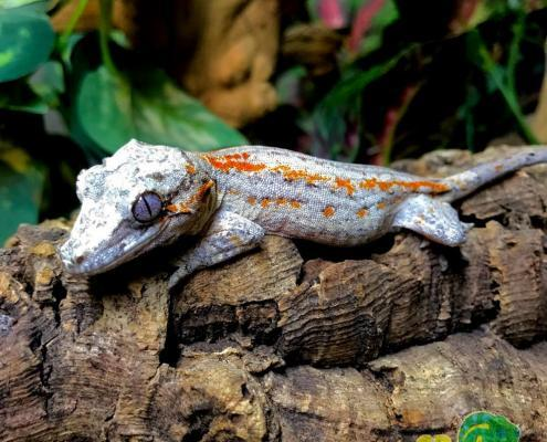red orange blotch gargoyle gecko