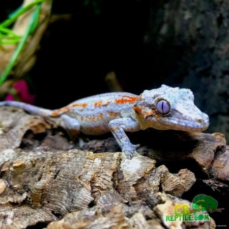 gargoyle gecko sale