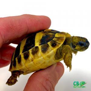 eastern Hermann's tortoise