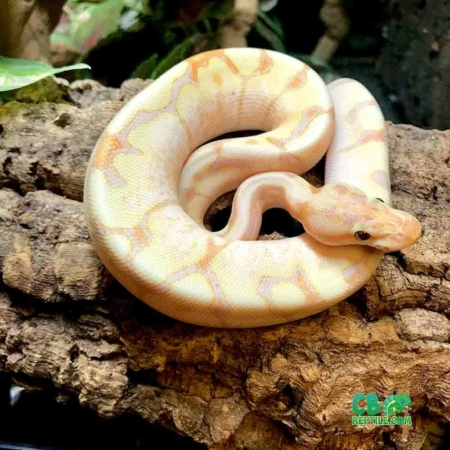 banana fire spider ball python
