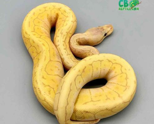 banana lemon blast ball python