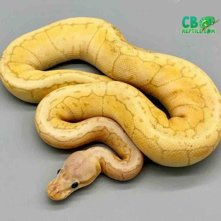banana lemon blast python for sale