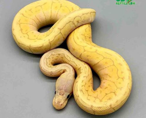banana lemonblast ball python for sale