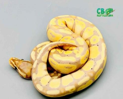 banana pastel ball python breeders