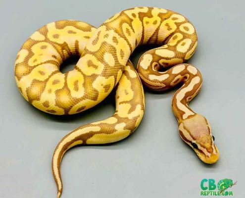 banana pastel python for sale