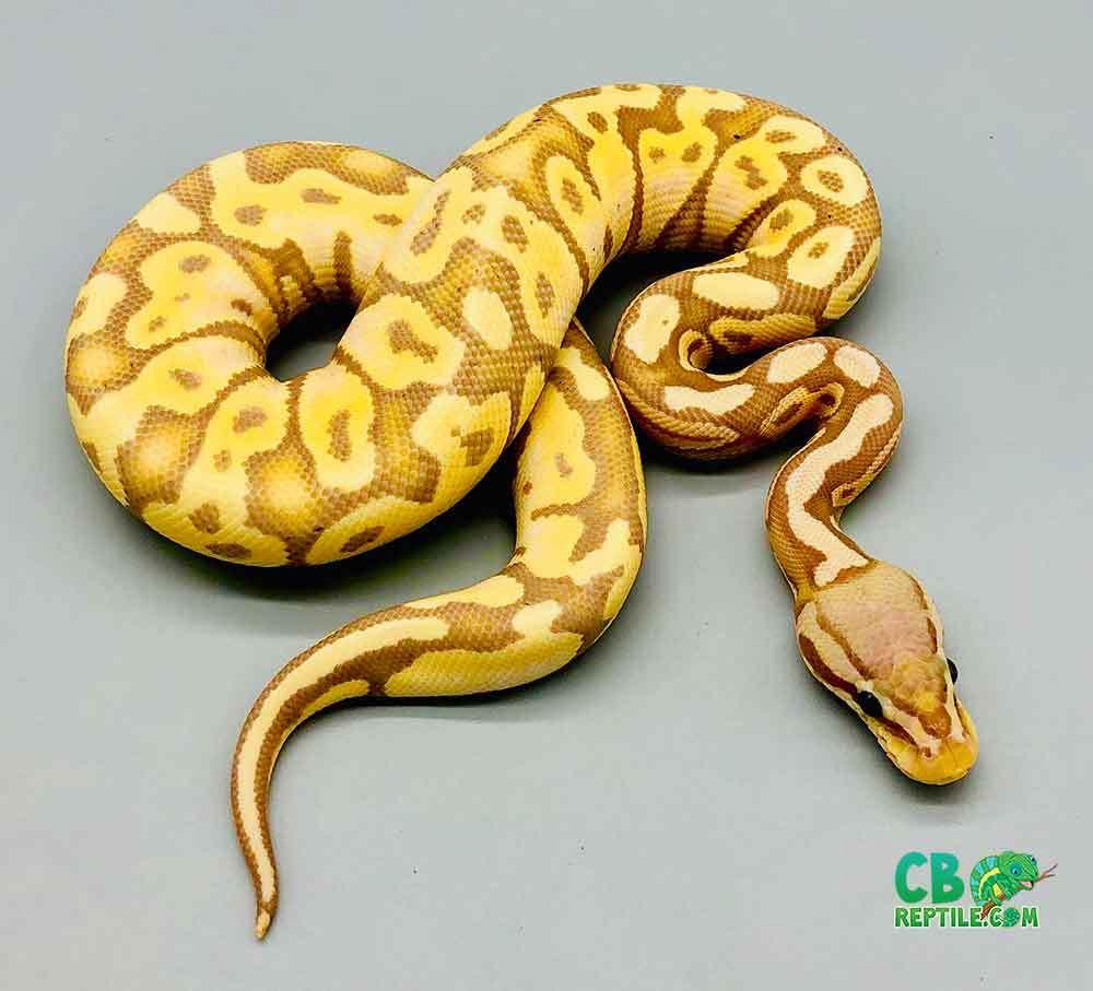 female banana pastel ball pythons for sale