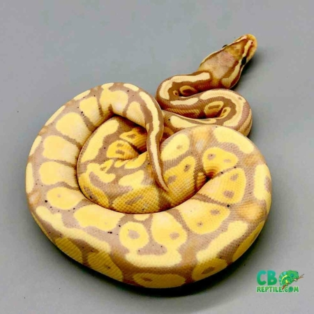 ball python for sale cheap