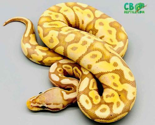 banana pastel ball python for price