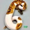 enchi piebald python for sale