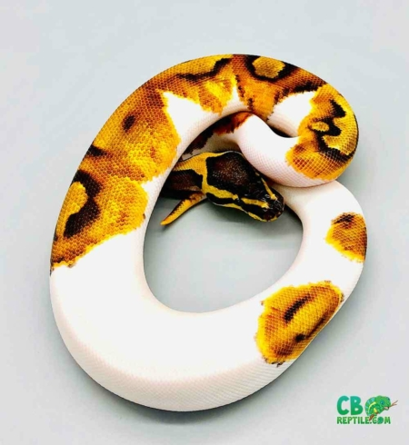 enchi pied ball pythons for sale