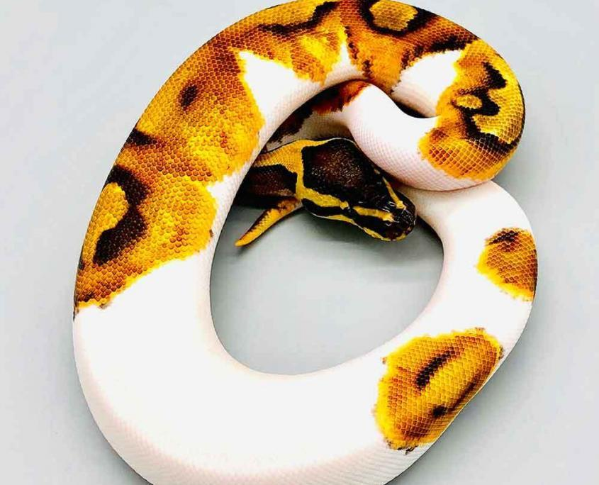 enchi pie ball pythons for sale