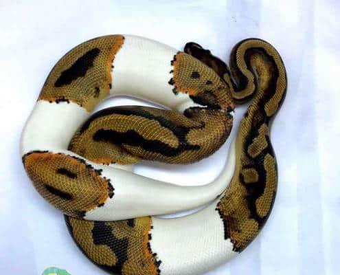 female piebald ball python