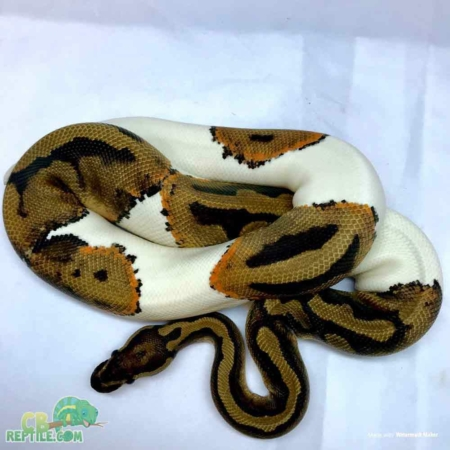 juvenile female ball python for sale