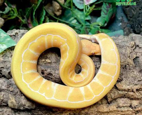 lavender albino pinstripe ball pythons
