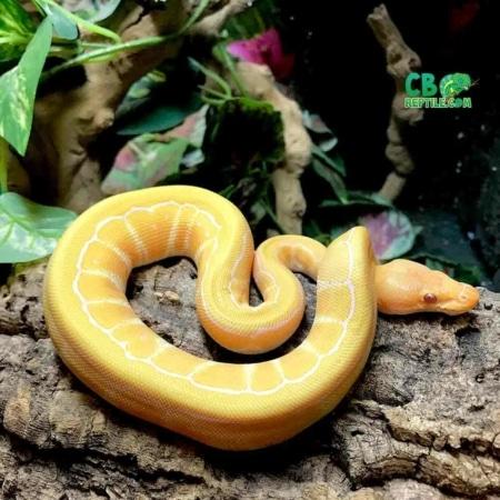lavender albino pinstripe ball python