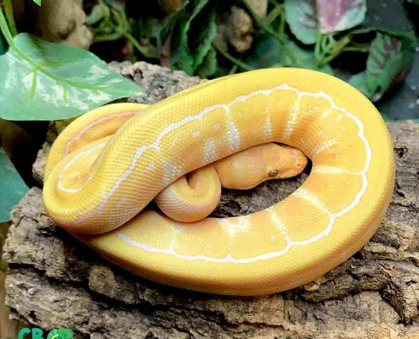 ball python breeders near me