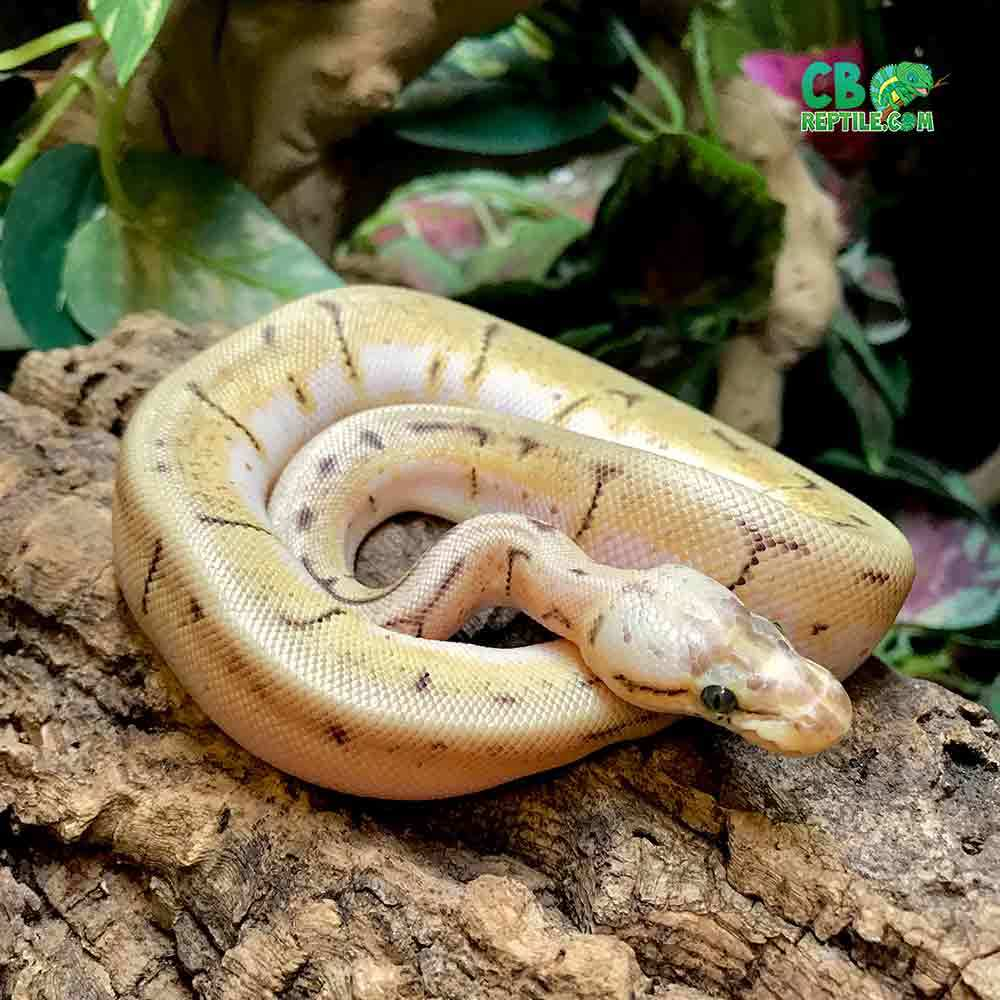 orange dream spinner blast ball python for sale