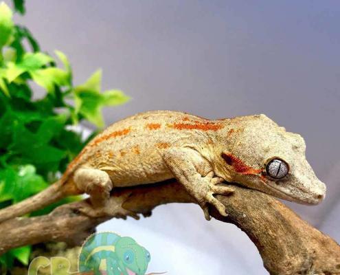 orange stripe gargoyle gecko for sale