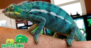 panther chameleon breeders