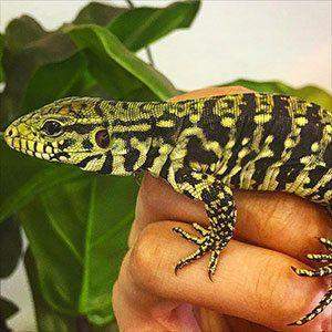tegus for sale