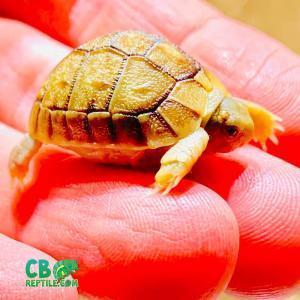 Egyptian tortoise hatchling