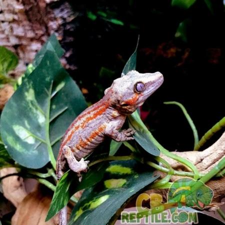 adult female gargoyle gecko for sale