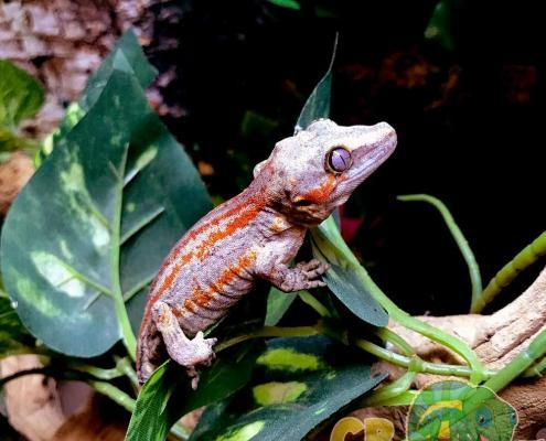 adult female gargoyle gecko for sale