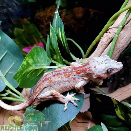 adult gargoyle gecko for sale